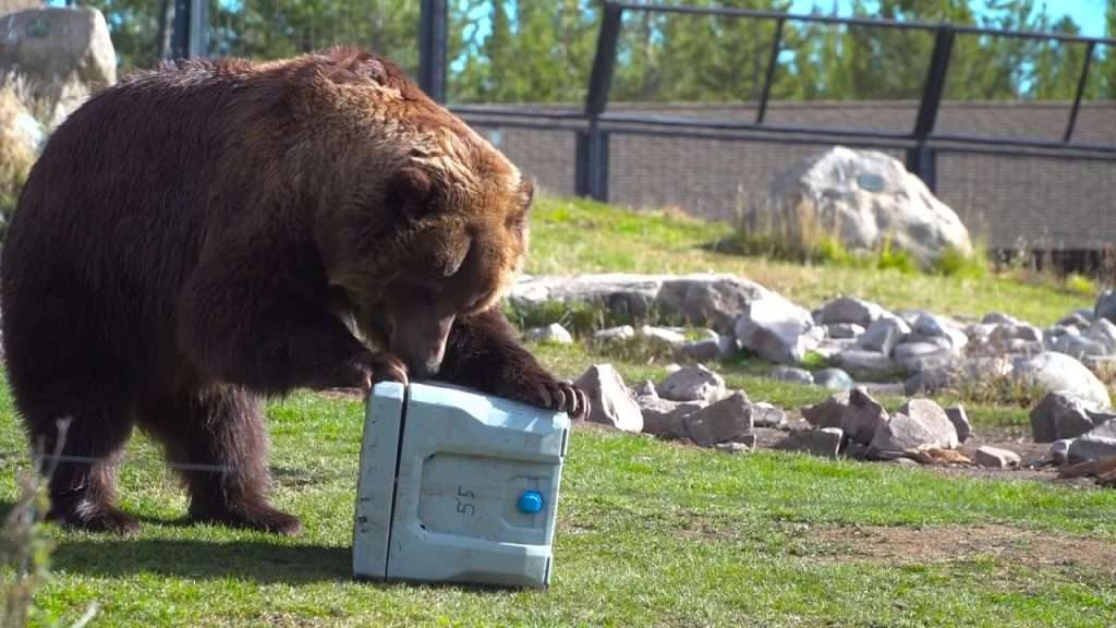 bear attacks cooler
