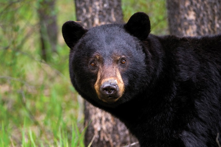 How to Eat a Spring Black Bear How to Eat a Spring Black Bear