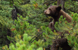 How to Eat a Spring Black Bear