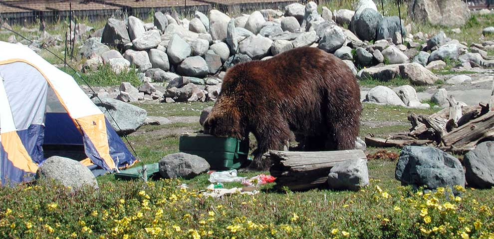 How to Keep Food Safe From Bears While Camping How to Keep Food Safe From Bears While Camping