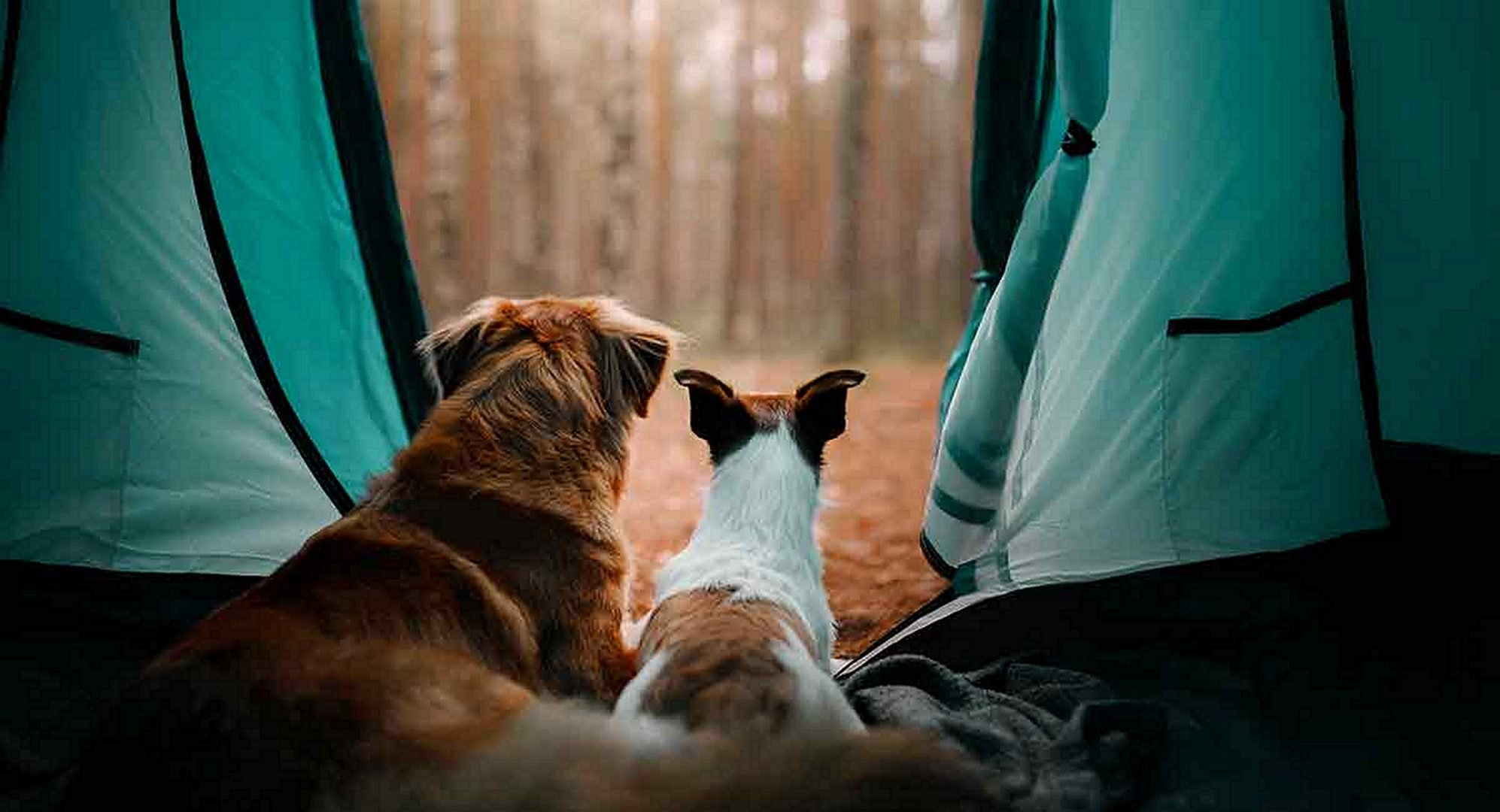 2 dogs in a tent