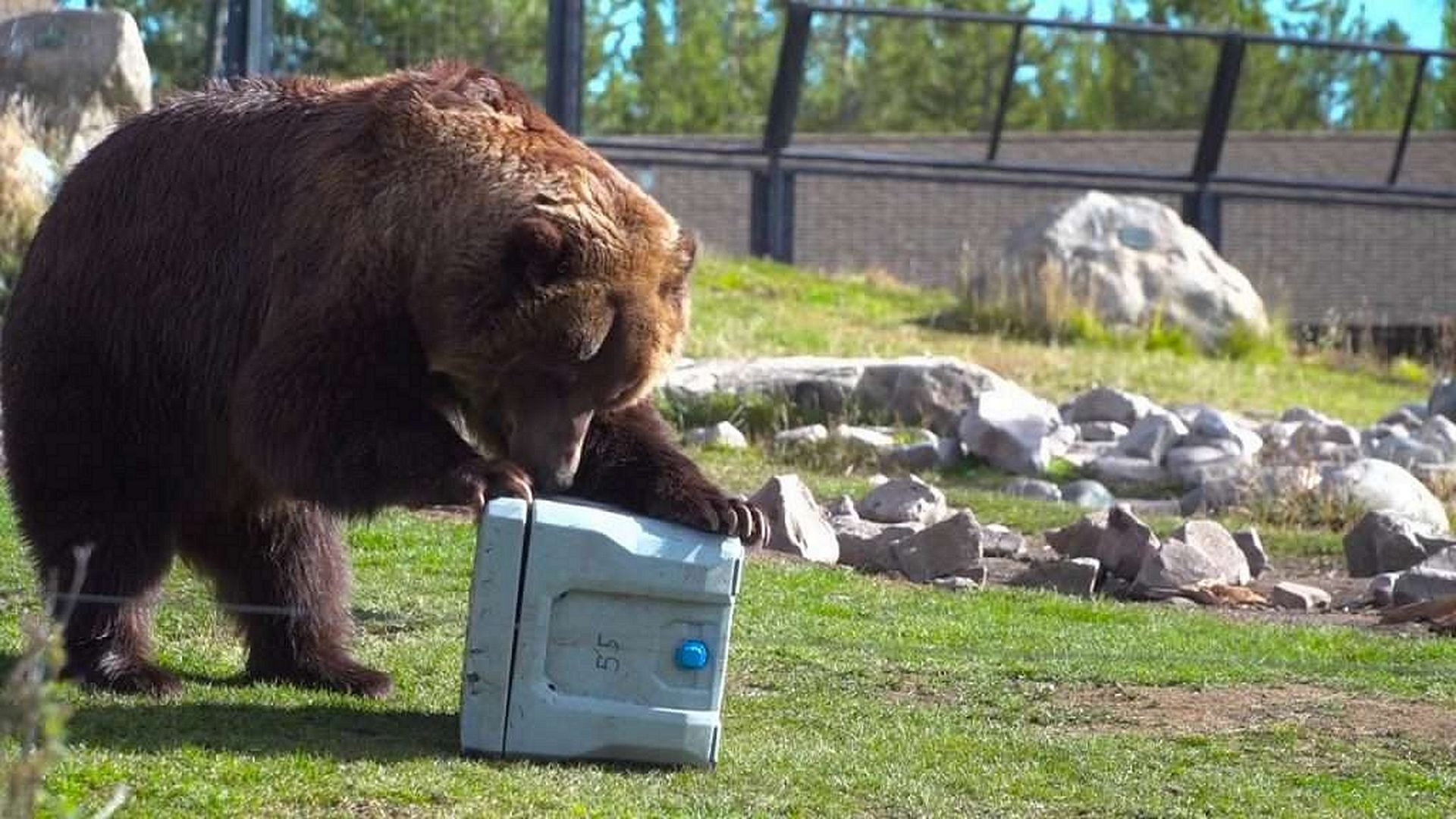 A Camping Cooler Being Tested by a Bear